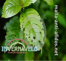 Los áfidos dañan gravante a los cultivos e impiden que adquieran las óptimas condiciones de calidad.