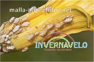 Aunque no los vemos, los áfidos consumen los cultivos y pueden llegar a acabar con ellos.